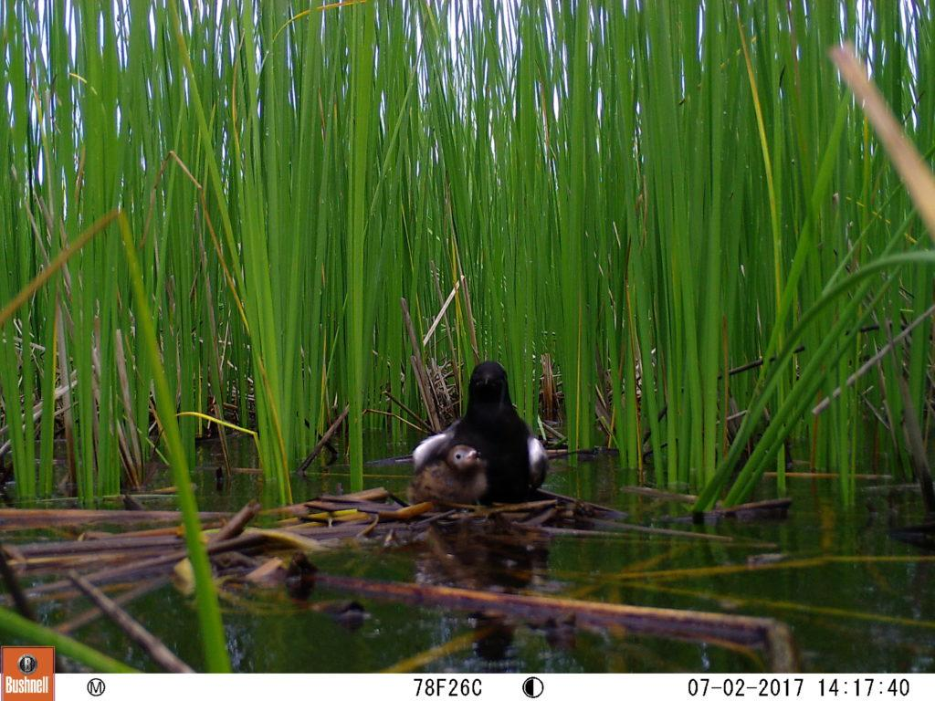 A+black+tern+and+its+young+are+spotted+by+one+of+NMU+biology+graduate+student+Dawn+Marsh%E2%80%99s+trail+cameras%2C+which+observe+the+nests+of+the+species+to+monitor+their+declining+numbers.+%0APhoto+courtesy+of+Dawn+Marsh%0A