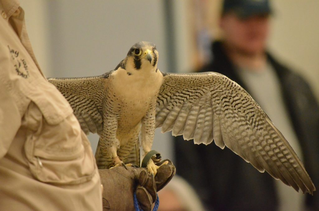 Phoenix+the+peregrine+falcon+spreads+its+wings+before+the+audience+at+the+%E2%80%9CBirds+of+Prey%E2%80%9D+event%2C+hosted+by+the+NMU+Fisheries+and+Wildlife+Association+at+2+p.m.+on+Friday%2C+April+6+in+Jamrich.%0APhoto+by+Emma+Case