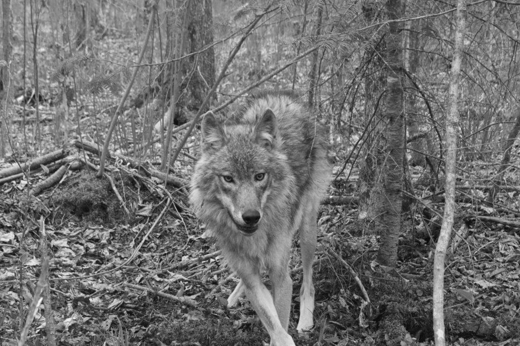 Researchers from the Voyageurs Wolf Project track the locations of wolves by means of a GPS collar. The project's aim is to understand the ecology of wolves and their behavior. Photo courtesy of Tom Gable