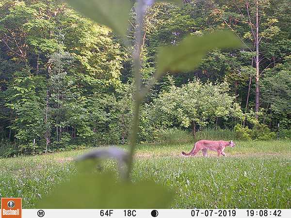 YOOPER REBIRTH—Mountain lion sightings increase  with two confirmations spotted this year in the U.P., and the species remains endangered by the state of Michigan but illegal poaching persists. Photo courtesy of Michigans Department of Natural Resources.