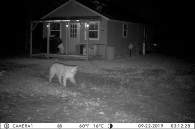 PROWLING THE U.P.—A cougar stalks just outside a residence in Delta County, north of Saint Jacques on Sept. 22. This sighting, caught on a trail camera, marks the fifth confirmed case of a cougar in the U.P this year and is closely followed by a Marquette County sighting.