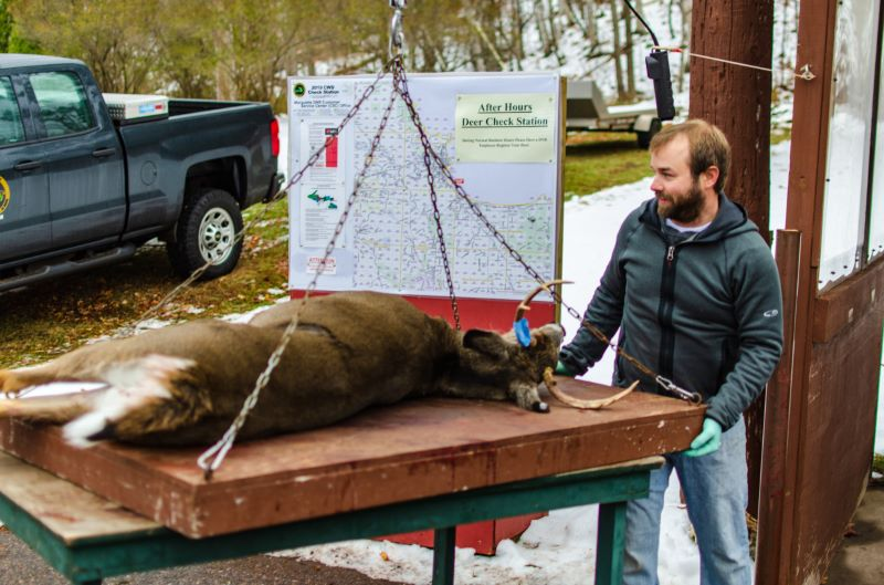 Photo courtesy of Michigan Department of Natural Resources. Michigan Department of Natural Resources wildlife assistant Mark Bash gets ready to weigh a buck at the Marquette deer check station.