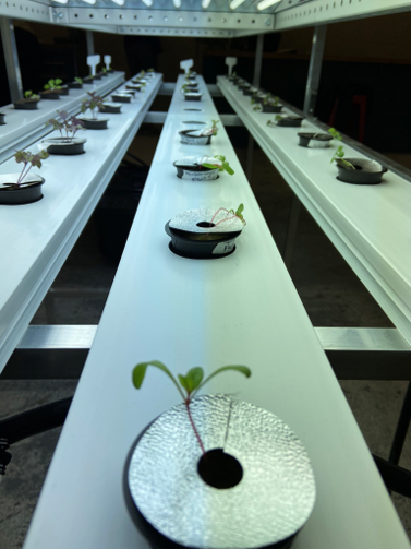 Photo courtesy of Sarah Cormier SPROUTING PROGRAM - The indoor agriculture program meet in Jacobetti in a room that was previously used for the aviation program. In the picture are so sprouts in an NFT (nutrient film technique) system.
